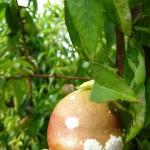 Oídio en nectarina