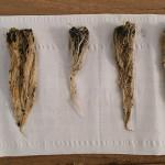 Arrels de les plantes fetes servir durant la prova. Foto: ADV Fruiters Parc Agrari Baix Llobregat.