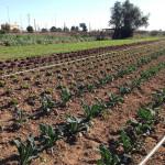 Camp de cols de la varietat Kale.