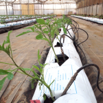 Tomaqueres en un cultiu hidropònic
