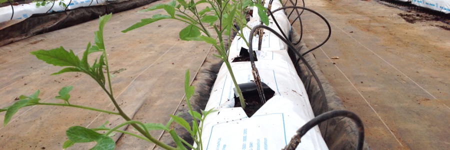 El cultivo hidropónico: com hacer crecer tomateras en agua