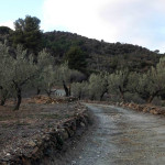 Camp d'oliveres d'en Josep Maria Gibert a Olesa De Montserrat