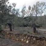 Oliveres al camp d'en Josep Maria Gibert. Olesa de Montserrat.