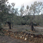 Camp d'oliveres de Josep Maria Gibert.