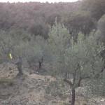Trampes per a la captura de la mosca de l'oliva. Olesa de Montserrat