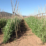 Pesols Agricultura Ecologica