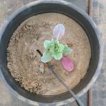 Planta en terra inert per a les proves. Foto: ADV Fruiters. Parc Agrari del Baix Llobregat.