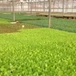 Diferents varietats d'enciam al planter Casals.