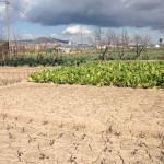 Part de l'explotació de Cal Pastera, amb les bledes en ple creixement