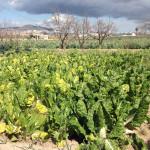 Bledes, en una porció de terra de Cal Pastera