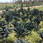 cal pastera 4 Col Kale