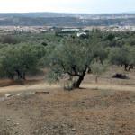 Camp d'oliveres a Olesa de Montserrat.