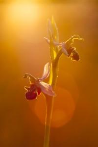 Orquidea abellera