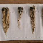 Raíces de las plantas examinadas en el ensayo