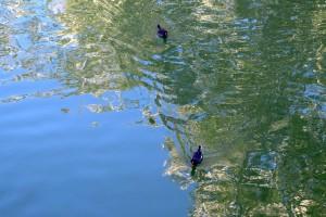 Polles d'aigua a l'estany.