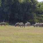 """Ramat d'ovelles pasturen en un camp del Prat de Llobregat. Imatge del documental """"El Pati del darrere""""."""